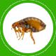 pulga icon